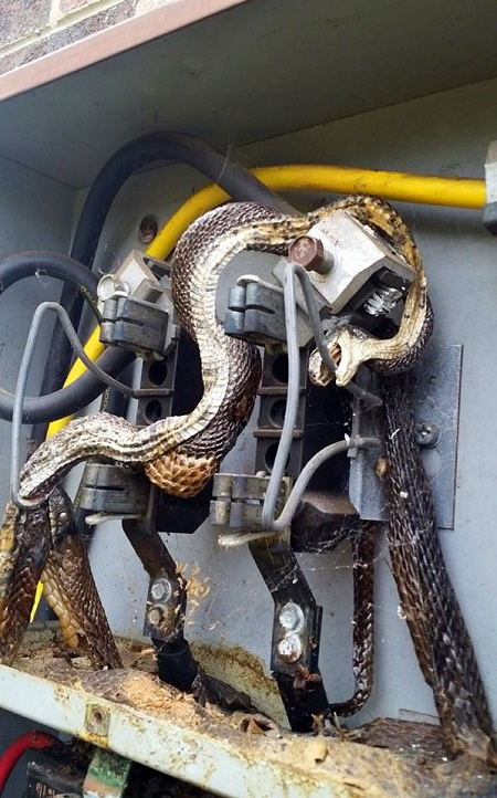 Shocked City Workers Find Huge Snake Electrocuted While Trying to Eat Another Snake (Photo)