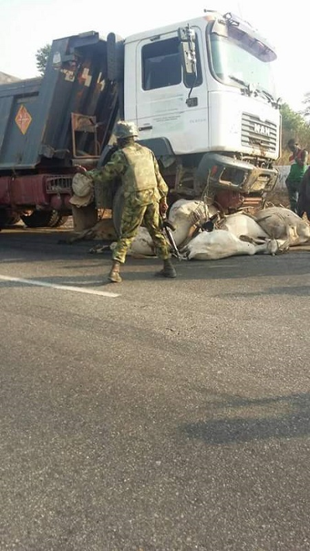 Many Cows Killed after Truck Collides with Herd of Cattle Along Keffi-Abuja Road (Photos)