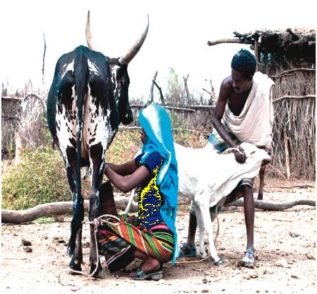 Golden Cows: How Oyo Women Currently Make a Living Milking Cattle in Spite of Recession
