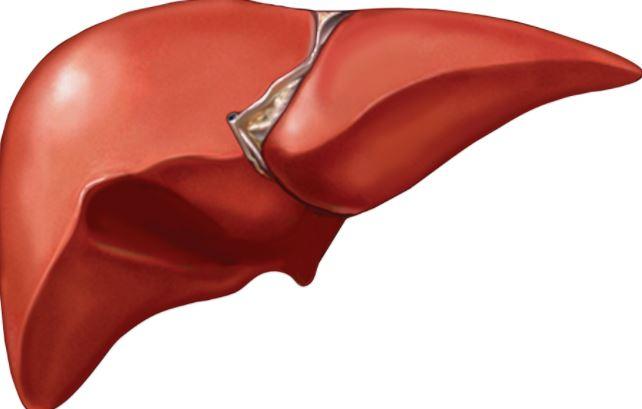 [Image: liver2.JPG]