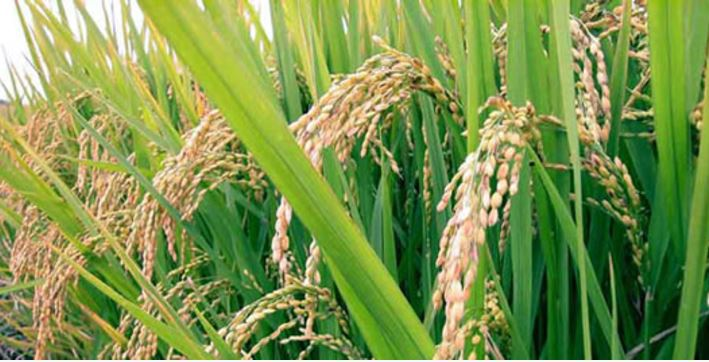 Kwara Rice Ready for Harvest in November