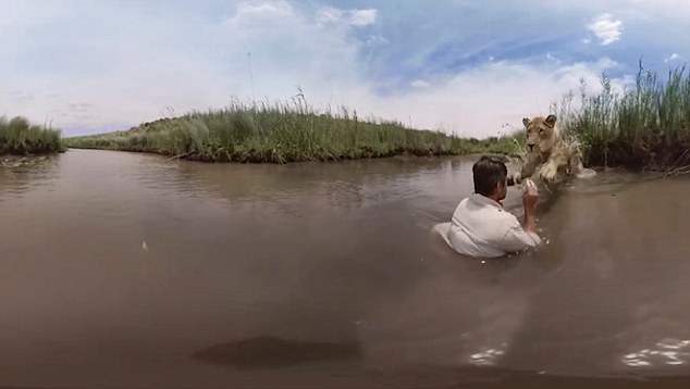 Unbelievable: See the Shocking Moment a Man Hugged a Lion That Leapt at Him Inside River (Video)