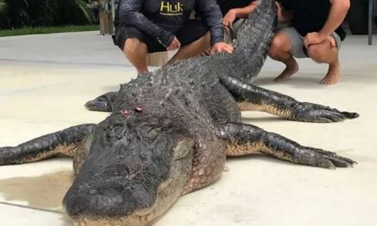 Hunters Catch and Kill One of the Biggest Alligators Ever Caught (Photo)