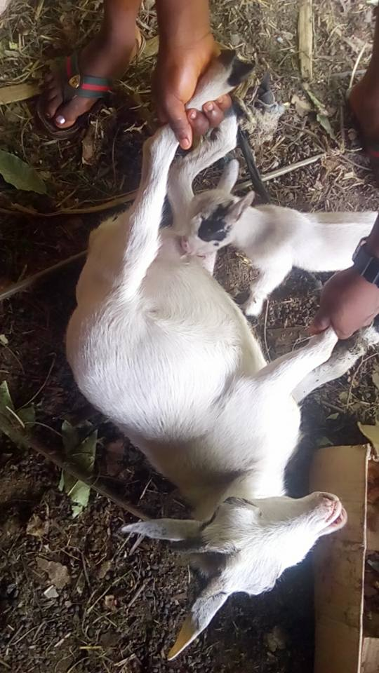 See Photos of 'Slay Goat' that Refused to Breastfeed Baby After Giving Birth