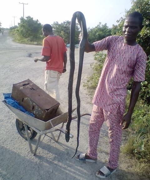 See the Big Cobra a Man Killed Near a Construction Site in Lekki, Lagos (Photos)
