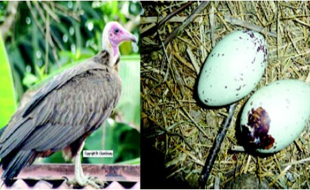 How Nigerian Politicians Conjure Power With Vulture Eggs Now Costing N1m Each as Youths Turn Hunters