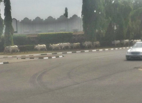 Shocking Video Shows Herdsmen Grazing Cattle at Aso Presidential Villa, Abuja (Photo/Video)