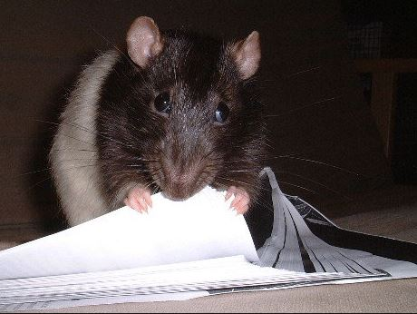 President Buhari Is Yet To Use His Office Seven Weeks After Rats Invaded It