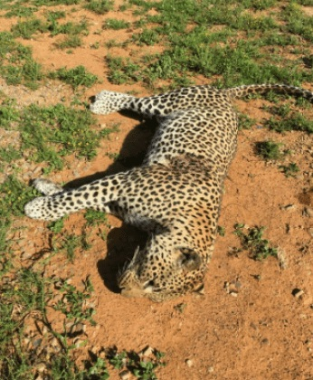 leopard 1 - Angry Villagers Finally Trap and Kill Dangerous Leopard that Killed Nearly 100 Livestock (Photos)