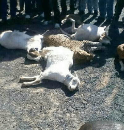 leopard 3 - Angry Villagers Finally Trap and Kill Dangerous Leopard that Killed Nearly 100 Livestock (Photos)