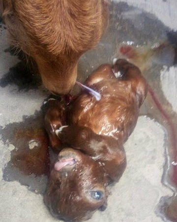 Goat Born With One Eye and Without a Nose in Niger State (Photos)