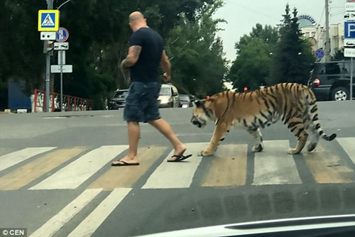Residents, Pedestrians Cower in Fear as Man Takes His Pet Tiger for a Stroll (Photos)