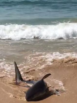 Terrified Swimmers Run for Dear Life as Injured Great White Shark Suddenly Appears on a Beach (Photos)