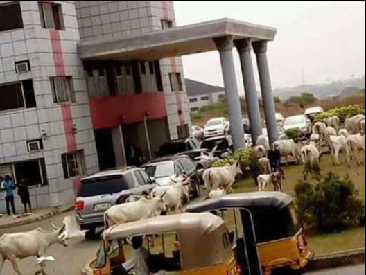 Fulani Herdsmen: Cows Storm Abia State Secretariat En Masse (Photo)
