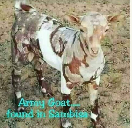 Goat Painted In Army Camouflage Reportedly Found In Sambisa Forest (Photo)