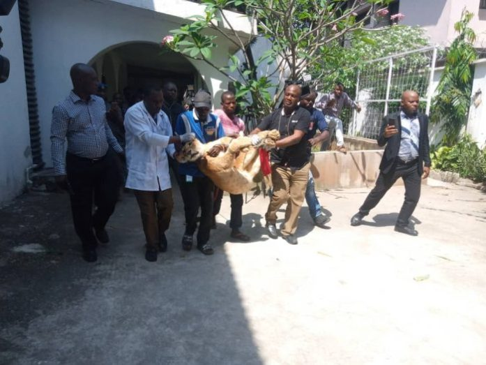 Lion rescued from Ikoyi home and taken to the zoo