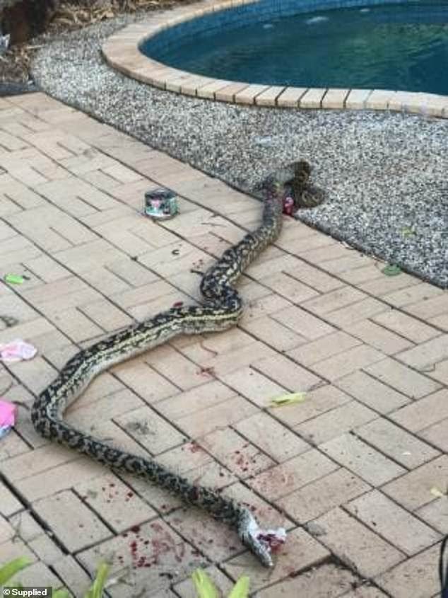 The python killed by the Australian man