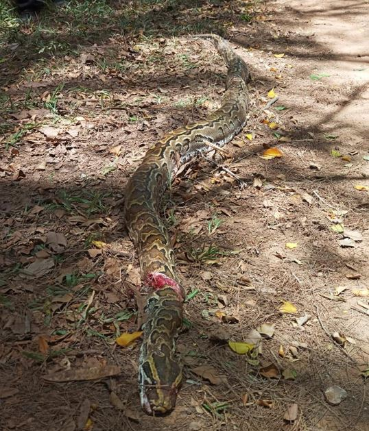 Villagers Kill Huge Python Terrorizing Their Community In Bayelsa (Photos)