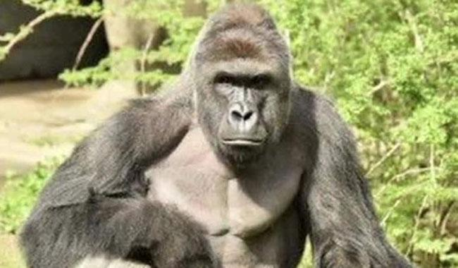 Armed Robbers Stole The N6.90million In Kano Zoo Not Gorilla - MD