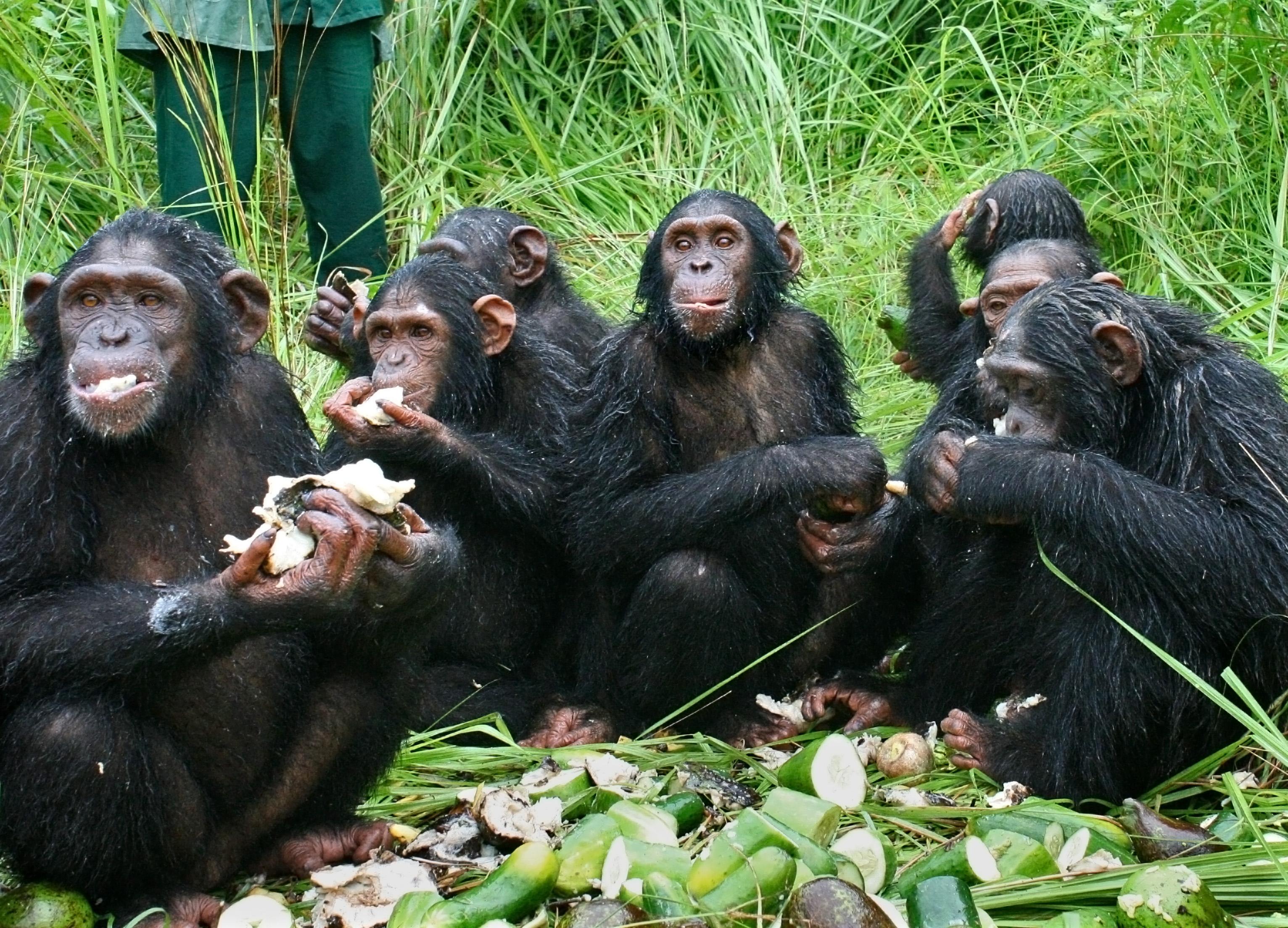 File photo: Chimpanzees