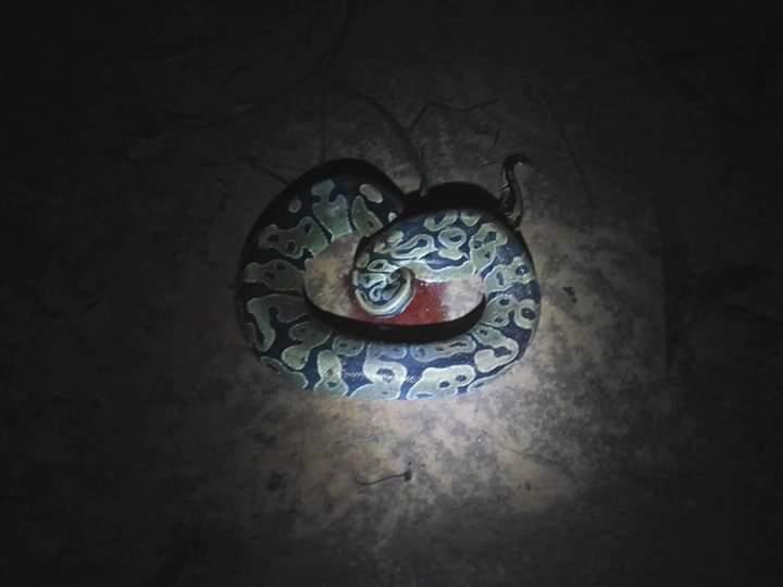 Huge python snake
