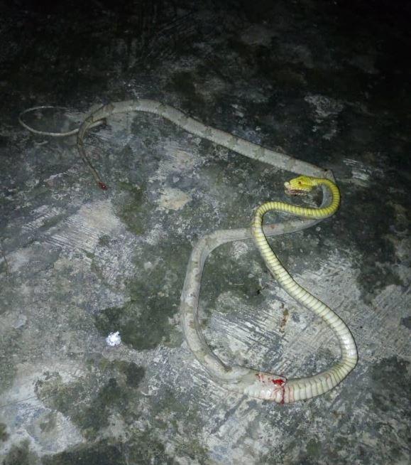 snake, Ikorodu