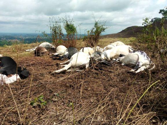 Ondo dead cows