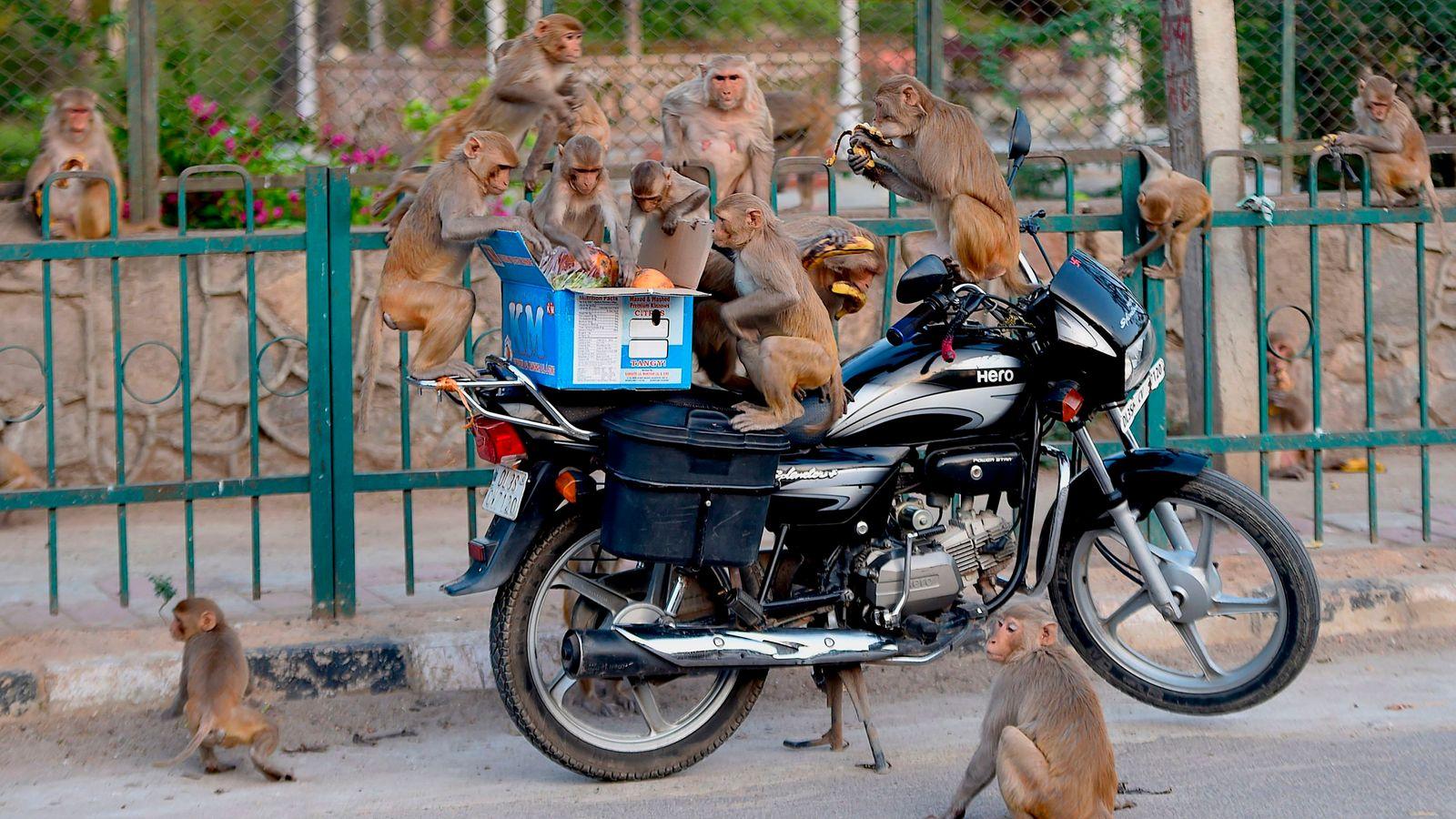 Monkeys COVID-19