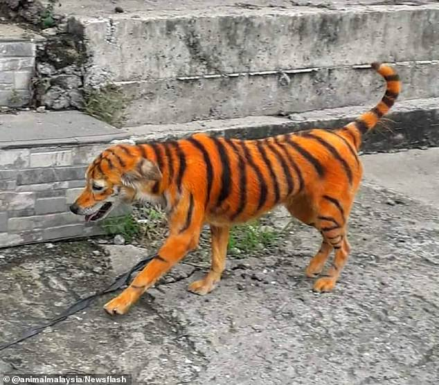 The dog painted to look like a tiger