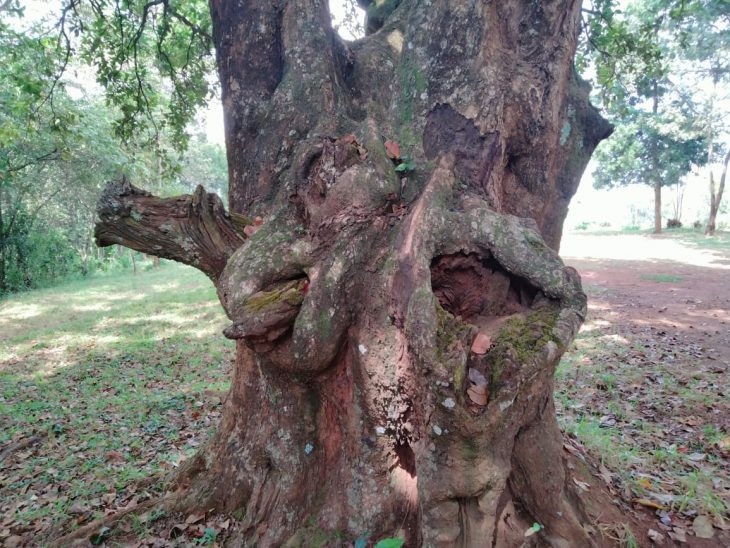 The controversial holy tree