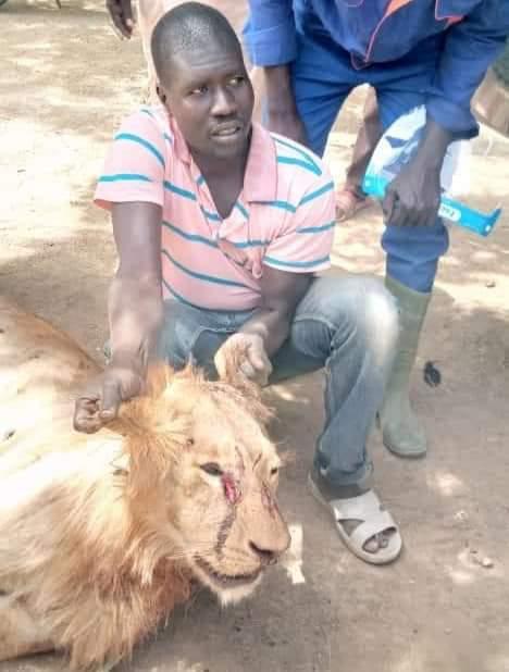 Lion in Borno
