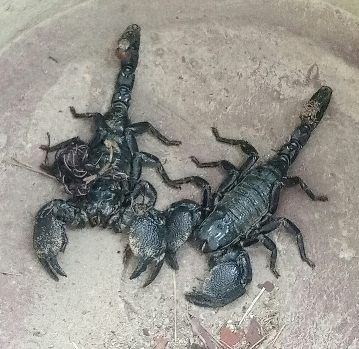 The scorpions caught by the man