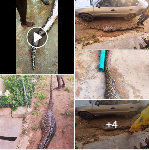 Python dies after swallowing python in Sagamu