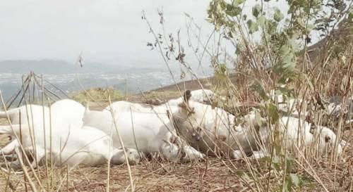 Taraba Cows