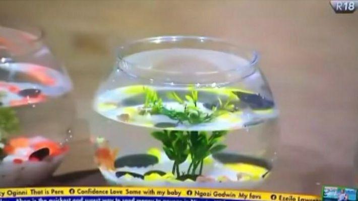 The pet fish